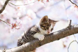 sakura_cat